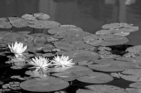 Blooming Lily Pad